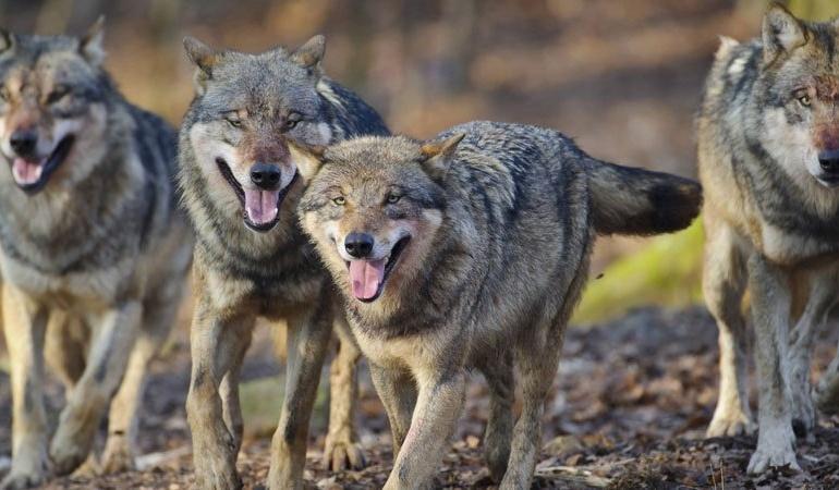 Loups hybrides