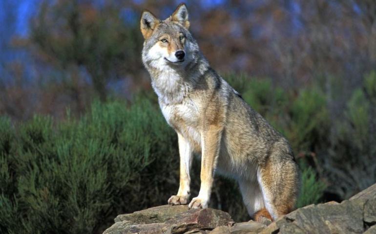 Statut d'espèce protégée du loup
