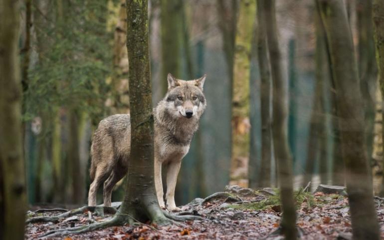 Comptage actualisé des loups sur le territoire national