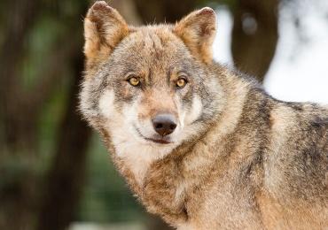 Co-signature projet résolution européenne loup