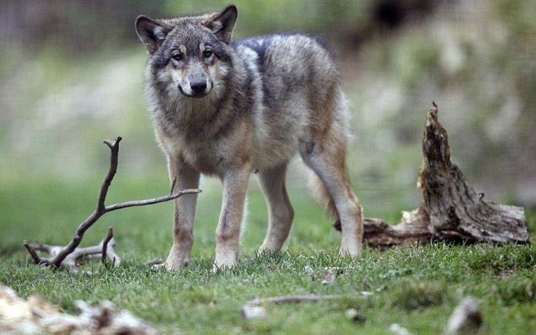 Lettre à Madame Barbara Pompili – Pastoralisme loup
