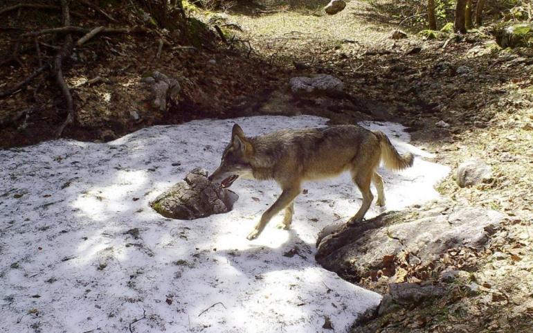 Lettre au Président de la République : Loup, les grandes difficultés que subissent les éleveurs savoyards