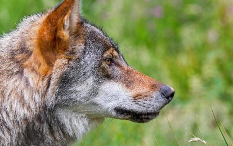Lettre au Premier Ministre, Jean Castex : demande d'audience avec les représentants des Maires sur le dossier du Loup